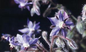 خواص درمانی گل گاوزبان