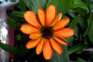 اولین گل شکوفا شده در فضا: گل آهاری نارنجی خوراکی