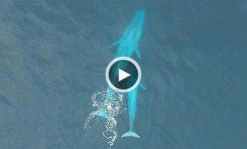 تصاویر شگفتآور یک پهباد از یک نهنگ آبی در حال شیر دادن
