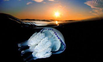 عکسهایی بینظیر از عروسهای دریایی زیبا