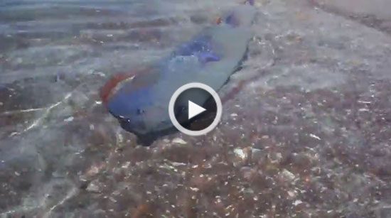 پارو ماهی