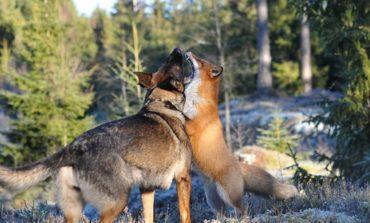 دوستی سگ و روباه