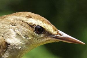 تکثیر یک گونه نادر از چکاوک در مزارع کاج
