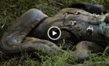 سرانجامِ مردی که توسط یک آناکوندای عظیمالجثه بلعیده شد + ویدیو
