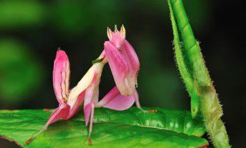 گونهای حشره درست شبیه به گل ارکیده
