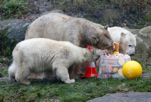 جشن تولد یک سالگی خرسهای قطبی