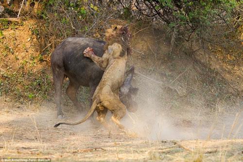 [۱۸+] مرگ شیر در جنگ با گاومیش
