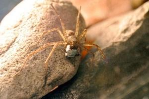 عنکبوتهای ماده چطور جفتشان را انتخاب میکنند؟