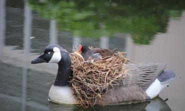 این پرندهها نمیدانند کجا لانه بسازند