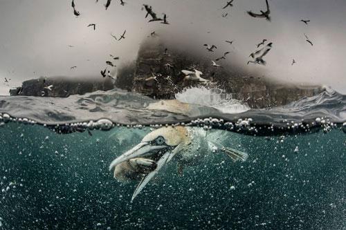 سرودست شکستن مرغهای ماهیخوار در سورچرانی جزیره شِتلند