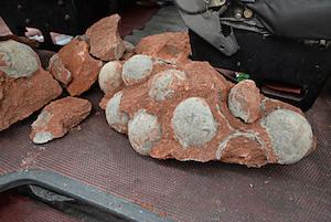 کشف ۴۳ فسیل تخم دایناسور در جنوب چین