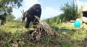 شامپانزه کوتولهای که آتش روشن میکند و غذا میپزد!