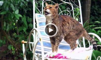 گربهها دو زبانه هستند