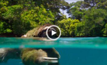 شنای تنبل سه انگشتی در جستجوی جفت (بخشی از Planet Earth II)
