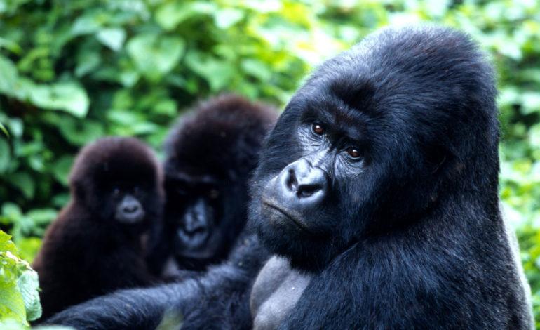 خانواده جورواجور میمونهای بزرگ