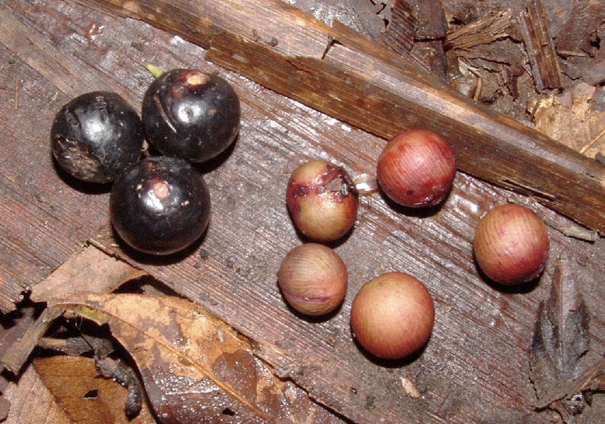 palm-fruit-130530