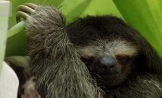 تنبلی تنبل سهانگشتی کوتوله به زندگی موجودات دیگر کمک میکند