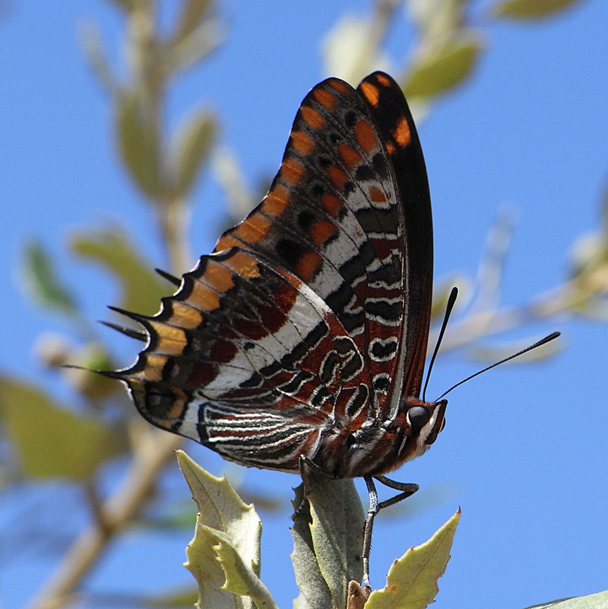 ۹two-tailed-pasha