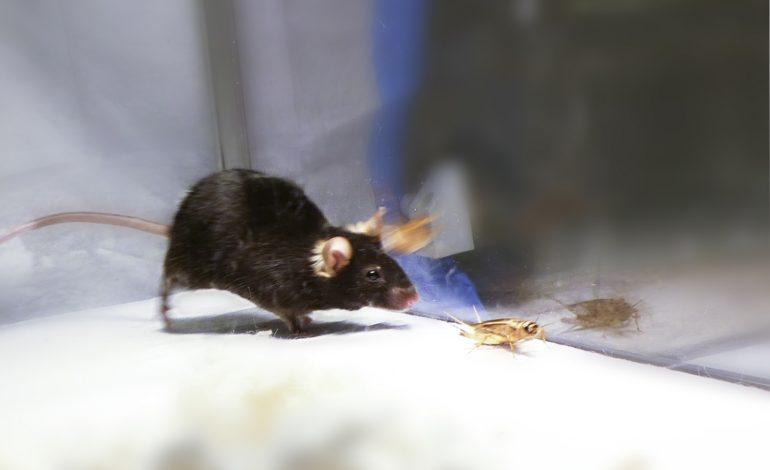 میکیماوس قاتل! این موش خود زامبی است
