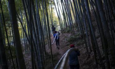 جنگلهای سر به فلک کشیده بامبو در چین