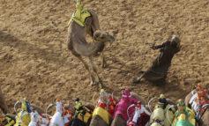 رالی پرهیجان شترهای اصیل در دوبی