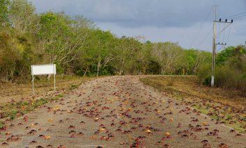خلیج خوکها آماج هجوم خرچنگهای رنگی!