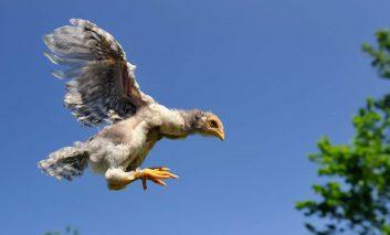 جوجهها، مرغها و خروسها؛ پروازگرانی ناشی با بالهای لذیذ و خوشمزه