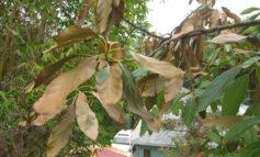 چرا برگهای گیاهانم قهوهای و خشک میشوند؟