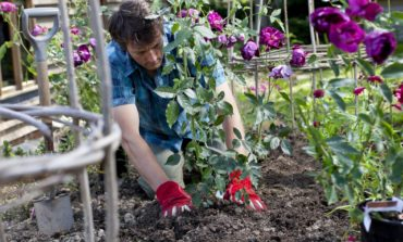 رز پرورش میدهید؟ چه خاکی استفاده میکنید؟