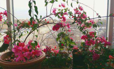 فوت و فن پرورش گیاه گل کاغذی!