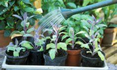 آیا گیاهانم را بیش از حد آبیاری میکنم؟