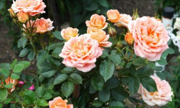 چه بلایی بر سر گل رز من آمده!