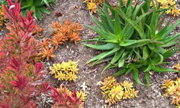 چه گیاهانی در ساکولنتهای خود بکاریم؟