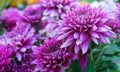 داوودی، گیاهی گلدار برای پاییز و زمستان