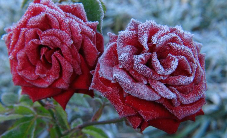 گلهایی برای باغچههای زمستانی