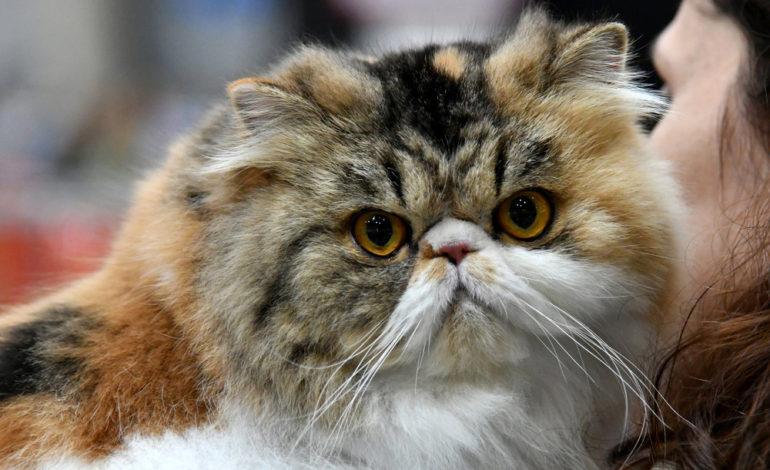مسابقه بهترین و زیباترین گربههای سال ۲۰۱۷