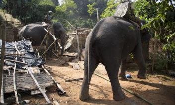 فیلها در نقش بولدوزر!