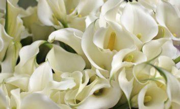 با گل شیپوری چه طورید؟