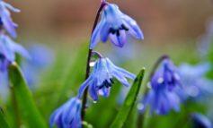 چند گیاه گل آبی برای کاشت در باغچه