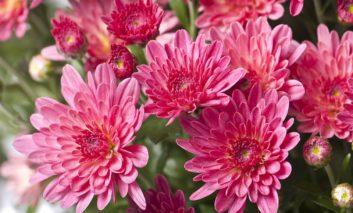 ۷ گل برای با شکوه کردن باغچههای پاییزی