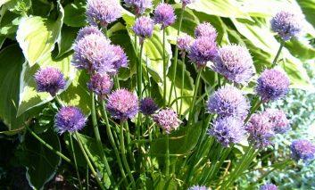گیاهانی بکارید که حشرات را دور میکنند