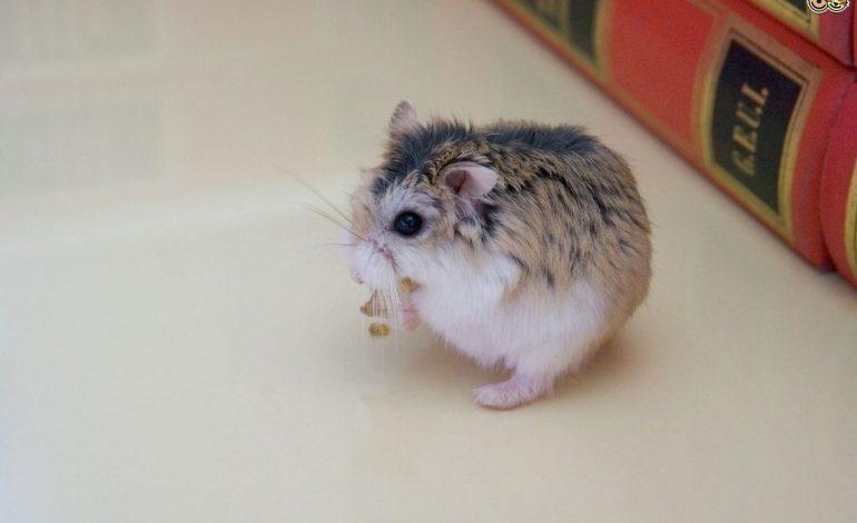 انتخاب حیوان خانگی: همستر حیوان مناسبی برای خانواده من است؟