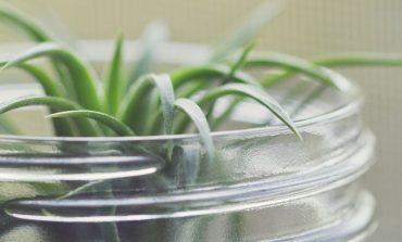 پرورش گیاهان هوازی؛ تیلاندسیا چیست؟