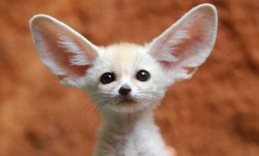 یک حیوان خانگی غیر معمول، روباه فانک!