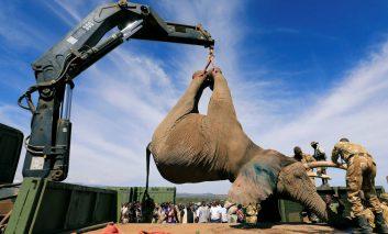خانه به خانه شدن  فیلهای عظیمالجثه کنیا؛ شاید کلافهکنندهترین کار دنیا