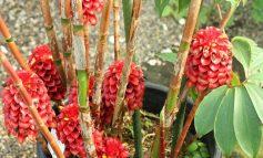 پرورش گیاه زنجبیل آناناسی!