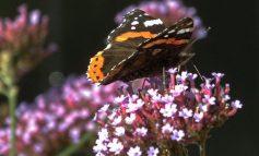 ۱۰ گیاه یکساله برای جذب پروانهها به باغچه یا بالکن!