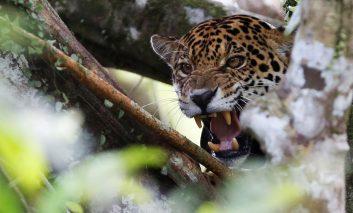 جگوارهای برزیل؛ زندگی روی نوک درخت!