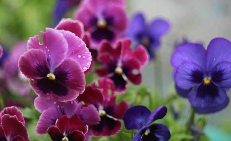 بنفشه؛ یکی دیگر از گلهای نوروزی