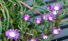 گل یخ رونده پرورش دهید